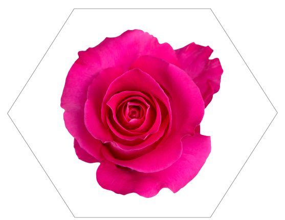 TESSACORP Hot-Pink-2-1 Our Varieties