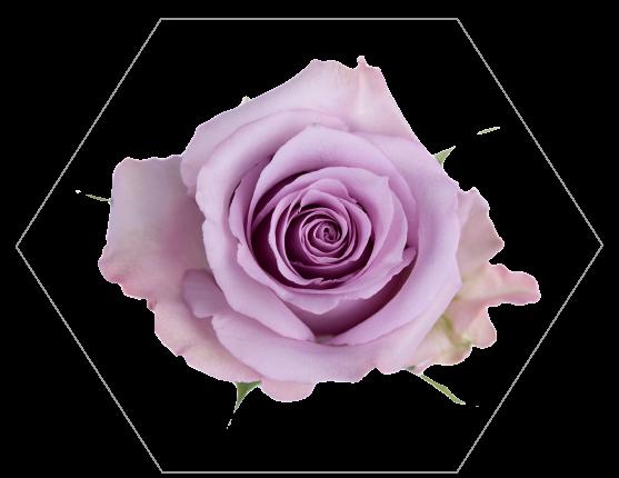 TESSACORP Lavender-2 Our Varieties