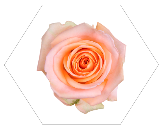 TESSACORP Peach-2 Our Varieties