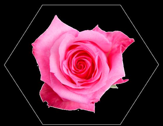 TESSACORP Pink-2 Our Varieties